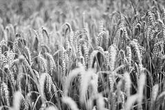 (xbacksteinx) Tags: ricohxrpmultiprogram analog slr rikenon50mmf17 50mm agfaphotoapx100 agfaphoto bw blackandwhite summer corn field bokeh grain grainy