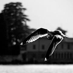 Monte Isola, Lago d'Iseo, Italia (pom.angers) Tags: canoneos400ddigital february 2009 monteisola localitàsensole lagodiseo brescia lombardia italia italy europeanunion seagull gull bird 100 200 5000