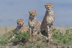 On the look out.... (Duncan Blackburn) Tags: 2017 cat kenya masaimara cheetah mammal nikon nature wildlife coth5