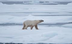DSC_3526 (stacyjohnmack) Tags: july23 polarbear artic