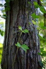 (MartMart1413) Tags: brown plant tree verde green planta plante pflanze vert bark rbol grn braun albero arbre rvore baum rinde  brun  marrone corce marrom pianta corteccia corteza casca     marrn