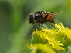 2015-08-20-001-MaMa - Augsburg - Wolfzahnau - 0107 -  Q80 (mair_matthias_1969) Tags: macro animal insect lumix outdoor panasonic nophotoshop makro insekt tier g7 g70 mft extensionrings zwischenringe nodirtytricks microfourthirds dmcg7 lumixg7 lumixg70 dmcg70 gvario14140f3556 ohneschmutzigetricks keineschmutzigentricks