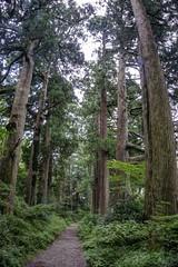 Japón 268 Hakone - Camino de los Cedros