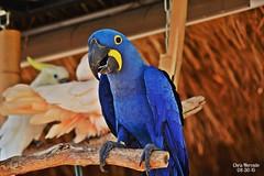 Hyacinth Macaw (chrs_mercado) Tags: nikon macaw tamron hyacinth 70300 d3200