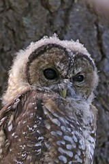 Spotted Owl (Alan Gutsell) Tags: arizona mountain bird nature alan wildlife raptor owl spotted spottedowl arizonabirds