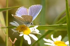 DSC_0714 Icarusblauwtje, Polyommatus icarus, Common Blue Argus bleu Hauhechelbläuling