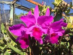 Cattleya jenmanii (cieneguitan) Tags: flower flora species bunga orkid okid angrek anggerek