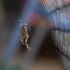 Backyard spider (kellimatthews) Tags: