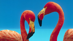 Birds (6) | Daily Free Stock Photo (clementchiew) Tags: pink 2 two bird animal horizontal outdoors photography couple colorful day affection wordpress wildlife duo pair flamingo perspectives flamingos nobody aves pointofview delicious tropical caribbean sexual sideview captive phoenicopterusruber greaterflamingo animalia chromatic courting vertebrate displaying headandshoulders courtship digitallyenhanced wader ciconiiformes dinosauria phoenicopteridae colorimage chordata metazoa craniata vertebrata twoanimals timeofday neognathae eukarya notreleasednotapplicable advertisingconcept phoenicopterussp pheonicopteridae ifttt
