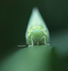big nose (Phil Arachno) Tags: philarachno insecta hexapoda arthropoda hemiptera flatidae chiangmai fulgoroidea thailand tha