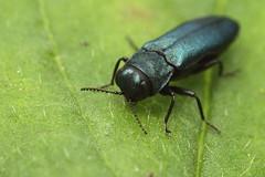 Agrilus cyanescens (Mark Gurney) Tags: coleoptera buprestidae