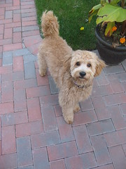 daisy-after-her-hair-cut--lookin-good-daisy-is-one-of-ginger-and-chewys-girls-_3939009255_o