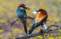 Abejarucos 33 (jimenezcuestapepe) Tags: espaa fauna sevilla andaluca aves abejaruco andalucia espana morndelafrontera localizacion morondelafrontera