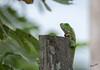Don't be afraid, I'm a vegetarian (MatsOnni) Tags: iguana manaus brazil amazon