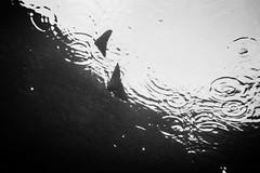 20150830-DSC_1623.jpg (d3_plus) Tags: 1nikkorvr1030mmf3556pdzoom 1030mm 1030mmpd beach beachhirizo diving j4 nikonwpn3 nikon1 nikon1j4 skindiving snorkeling underwater wpn3 apnea fish hirizo izu japan minamiizu misakafishingport nakagi scenery sea shizuoka sky waterproofcase ウォータープルーフケース シュノーケリング スキンダイビング ニコン ニコン1 ヒリゾ浜 三坂漁港 中木 伊豆 南伊豆 息こらえ潜水 日本 景色 水中 海 空 素潜り 静岡 静岡県 風景 魚