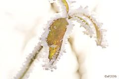 Zuckerrand (leaving-the-moon) Tags: 2016 201612 baden deutschland germany goodlight kraichgau raureif sweethome whitefrost winter