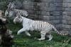 White Tiger (Noodles Photo) Tags: pairidaiza whitetiger pantheratigristigris tiger belgien belgium zoo carnivora raubtier säugetier whitebengaltiger bengalischertiger groskatze katze felidae