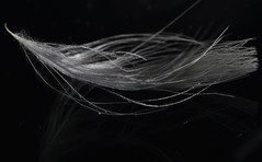 Feather _DSC0257 (ikerekes81) Tags: feather underexposed white macro closeup nikond3200 nikon d3200 1855mm extensiontube sb700