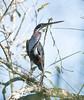 Agami Heron (Sandrine Biziaux-Scherson) Tags: agami heron quintana roo mexico rare sandrine scherson yum ballam biziaux bird birds nature wildlife wild