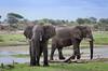 Afrikanische Elefanten / African Bush Elephants (brainstorm1984) Tags: big5 boteti elefanten safari makgadikgadi elefant desertdeltasafaris africanbushelephant loxodontaafricana botetiriver botswana elephant wildlife africansavannaelephant africanbushelephants elephants afrikanischeelefanten leroolatau africansavannaelephants makgadikgadipansnationalpark makgadikgadipansgamereserve afrikanischerelefant elephantidae bigfive centraldistrict botsuana bw