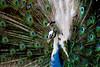 Peacock portrait_1832 (ichauvel) Tags: paon peacock oiseau bird couleurs colours verte green belu blue plumes feathers beautédelanature beautyofnature portrait closeup portraiture faune fauna jour day exterieur outside lisbonne lisboa lisbonn portugal europe westerneurope travel voyage winter hiver getty