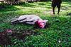 (Nico Francisco) Tags: pig animal slaughter farm