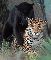 jaguar Mowgli and Rica Artis JN6A3722 (j.a.kok) Tags: jaguar pantheraonca rica mowgli artis predator mammal cat kat zuidamerika southamerica blackjaguar spottedjaguar zoogdier
