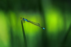 Green and blue_c (gnarlydog) Tags: dragonfly nature bokeh creamy helios447 australia manualfocus adaptedlens insect shallowdepthoffield subjectisolation green