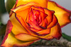 And The Flames Grow Ever Higher (cathbooton) Tags: petals closeup flames orange red yellow nature indoor rose layers canoneos canonusers canon6d