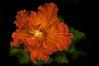 Hibiscus rosa-sinensis (Tortie Cat) Tags: hawaiianhibiscus hibiscus red flower bloom bloodred vibrant colours nature artistic semidouble macro hibiscusrosasinensis curlypetals