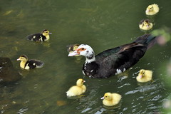 Circle of love (tislissi) Tags: nikond90 azores acores saomiguelisland portugal duck duckling water ugly green algae
