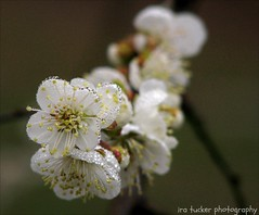One photo out of focus is a mistake, ten photo out of focus are.... (itucker, thanks for 2.8+ million views!) Tags: prunusmume macro bokeh hbw fog fogdrops arboretum raulstonarboretum bigjoe apricot blossom blosom apricotblossom