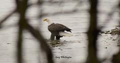 Bald Eagle_4616e (Porch Dog) Tags: 2017 garywhittington kentucky nikond750 fx nikon200500mm lbl landbetweenthelakes betweentherivers nature mature eagle bird baldeagle wildlife lake feathers