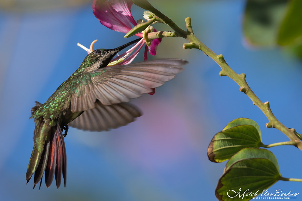 Female Black-Throated Mango Hummingbird (Explored)