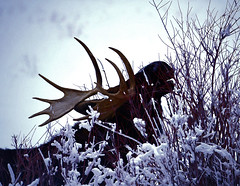 A CHILLY BREAKFAST BUFFET (Aspenbreeze) Tags: moose bullmoose snow winter bush wyomingwildlife wildlife wildlike wildanimal bullmooseeating morning bevzuerlein nature outdoors rural moonandbackphotography aspenbreeze