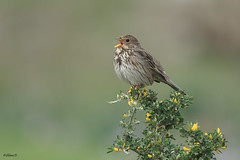Corn bunting (Dave 5533) Tags: cornbunting wild nature songbird bird outdoor canoneos1dx sigma150600mmf563dgoshsm|s wildlife naturephotography eiap coth specanimal naturethroughthelens ngc coth5 npc 5contest137