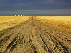 Alberta Wheat Field (David Basiove) Tags: farming grain agriculture grainary wheat golden summerfollow stubble albert canada road dirt ruts countryroad fall tiretracks