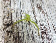 Green hugs 'r us (tessab101) Tags: cran spider cetratus rupropunctatus flower thomisidae arachnids arachnid blue mountains nsw australia