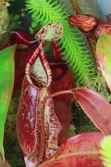 nepenthes hookerina x raff (venwu225) Tags: nepenthes pitcher plants life green soul fashion carnivorous captive