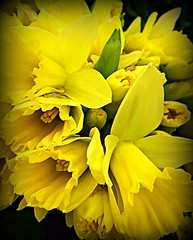 My Heart with Pleasure Fills 1/31/17 (dianecordell) Tags: flowers daffodils florist yellow poetry january winter pleasure