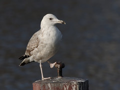 3CY Caspian Gull (Larus cachinnans) (Orang J Goreng) Tags: caspiangull laruscachinnans amstel amsterdam
