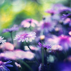 Soft Dreams (João Pedro de Almeida) Tags: soft dreams daisy flower pink spring charm sun summer forest light backlight sunny day dream beauty world micro macro dof focus blur bokeh outdoor nature colors magic fantasy fairy abstract seasons plant details canon 600d 50mmf18