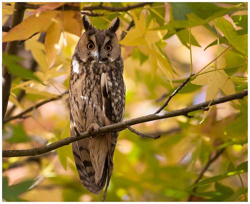 Long-eared Owl - Ransuil (Asio otus) ....