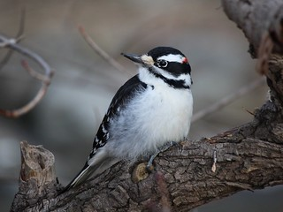 Hairy Woodpecker (Leuconotopicus villosus)