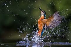 Kingfisher (Mr F1) Tags: nature kingfisher bif birdsinflight johnfanning outdoors birds colour colourful electricblue water drama dramatic striking splash river wild detailed