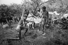 PRIMITIVE RITUAL 2 (daniele romagnoli - Tanks for 15 million views) Tags: suri surma ethiopia etiopia äthiopien ethiopie etiyopya etiopien αιθιοπία أثيوبيا エチオピア 에티오피아 इथिय ोपिया эфиопия אתיופיה أفريقيا 比亚 etiopija africa afrique アフリカ 非洲 африка αφρική afrika 아프리카 etnia etnico ethnique этниче 種族 民族性 ethnicity tribu tribes tribo tribale tribal tribe племя 部族 omo afrikan africani romagnolidaniele omoriver omovalley valledellomo 埃塞俄比亚 etnias nikon d610 portrait ritratto decorazioni artistico pigmento artistic tradizione ethnie ethnic cultura bodypainting ethnology етиопија bw biancoenero blackandwhite cows cow primitive rito ritual