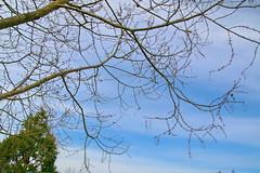 Metasequoia glyptostroboides-06 (The Tree Library (TreeLib.ca)) Tags: metasequoiaglyptosroboides dawnredwood metasequoiaglyptostroboides