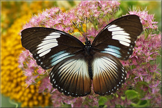 Female African Swallowtail