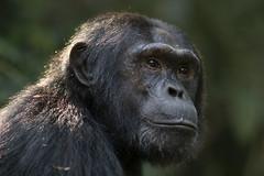 Chimpansee - Kibale forest - Uganda (wietsej) Tags: chimpansee kibale forest uganda sony a7rii a7rm2 zeiss 135 18 sal135f18z animal africa wietsejongsma wietse jongsma