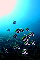 CRW_4383 (aquanerds) Tags: ose izu japan underwater scuba diving fisheye bannerfish tomomi school topv111